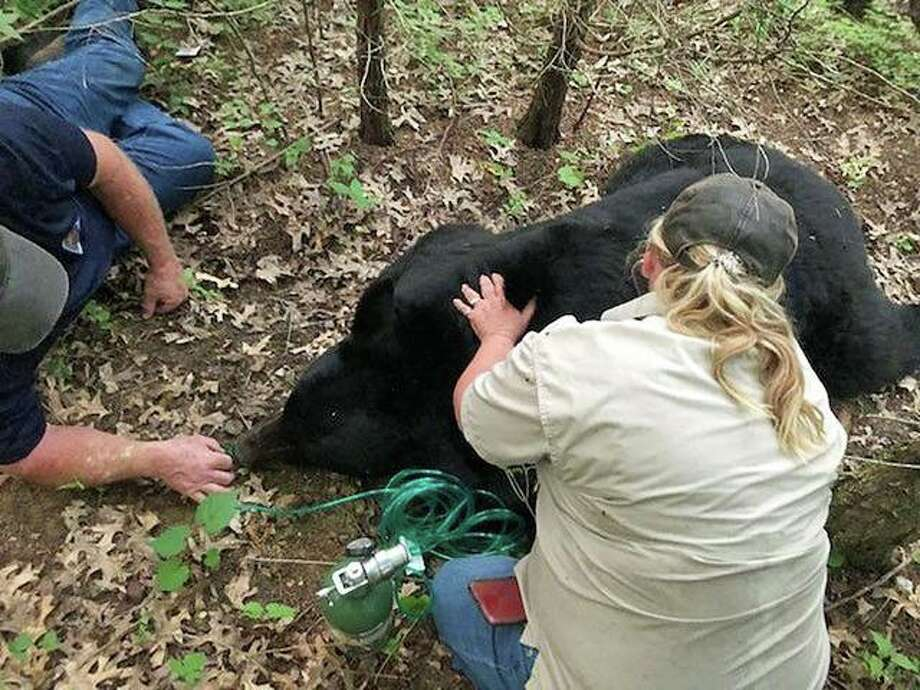 "Missouri Department of Conservation State Wildlife Veterinarian Dr. Sherri Russel monitors the condition of the bear named ""Bruno"" by social media after the animal was sedated on July 5. The bear was safely transported and released unharmed to suitable habitat outside the urban area."