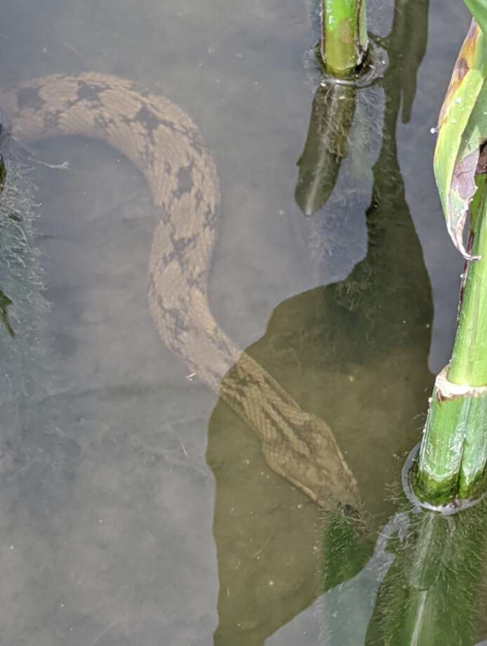 On Sunday, Thomas Sinard, a new San Antonian who recently moved from Ohio, decided to explore the River Walk. Along the way, he found a few non-venomous snakes. Photo: Thomas Sinard