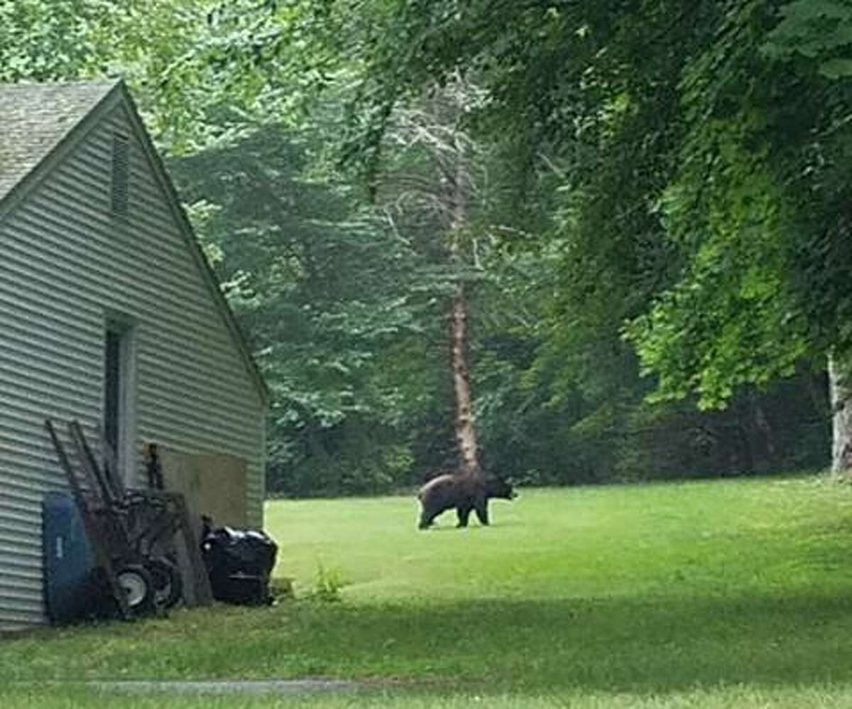 This bear was spotted walking in a yard off Long Hill Avenue near Donovan Lane about 7 p.m. on July 7.