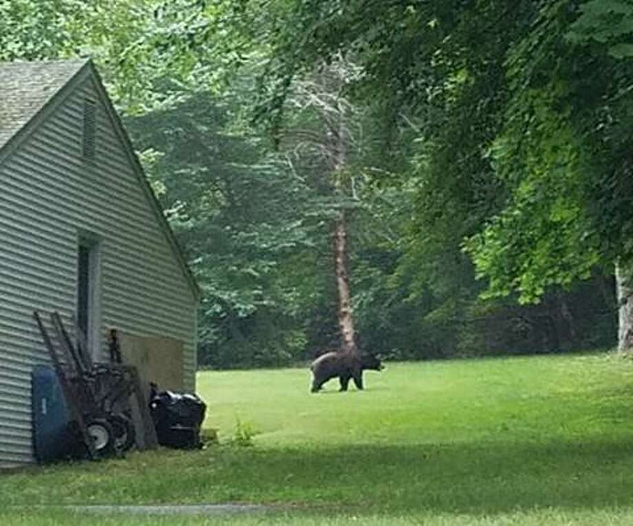 This bear was spotted walking in a yard off Long Hill Avenue near Donovan Lane about 7 p.m. on July 7. Photo: Devan Kingston / Contributed Photo / Connecticut Post