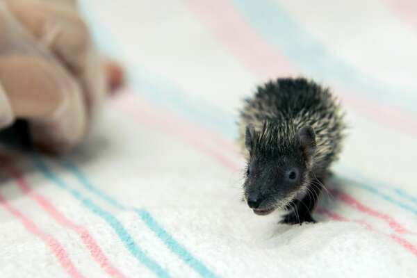 Houston Zoo welcomed three new additions to its animal family. A trio of hedgehog tenrecs was born at the zoological park in mid-June, according to a July 9, 2020 release.