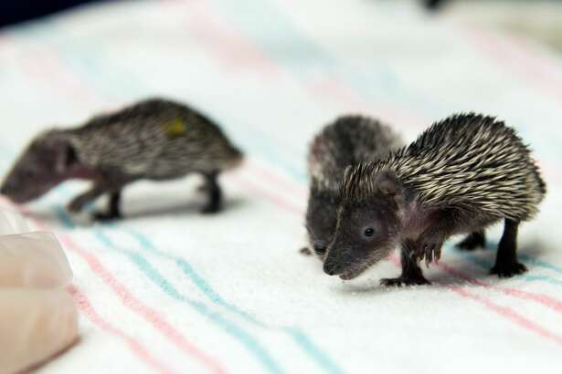 hedgehog tenrecs