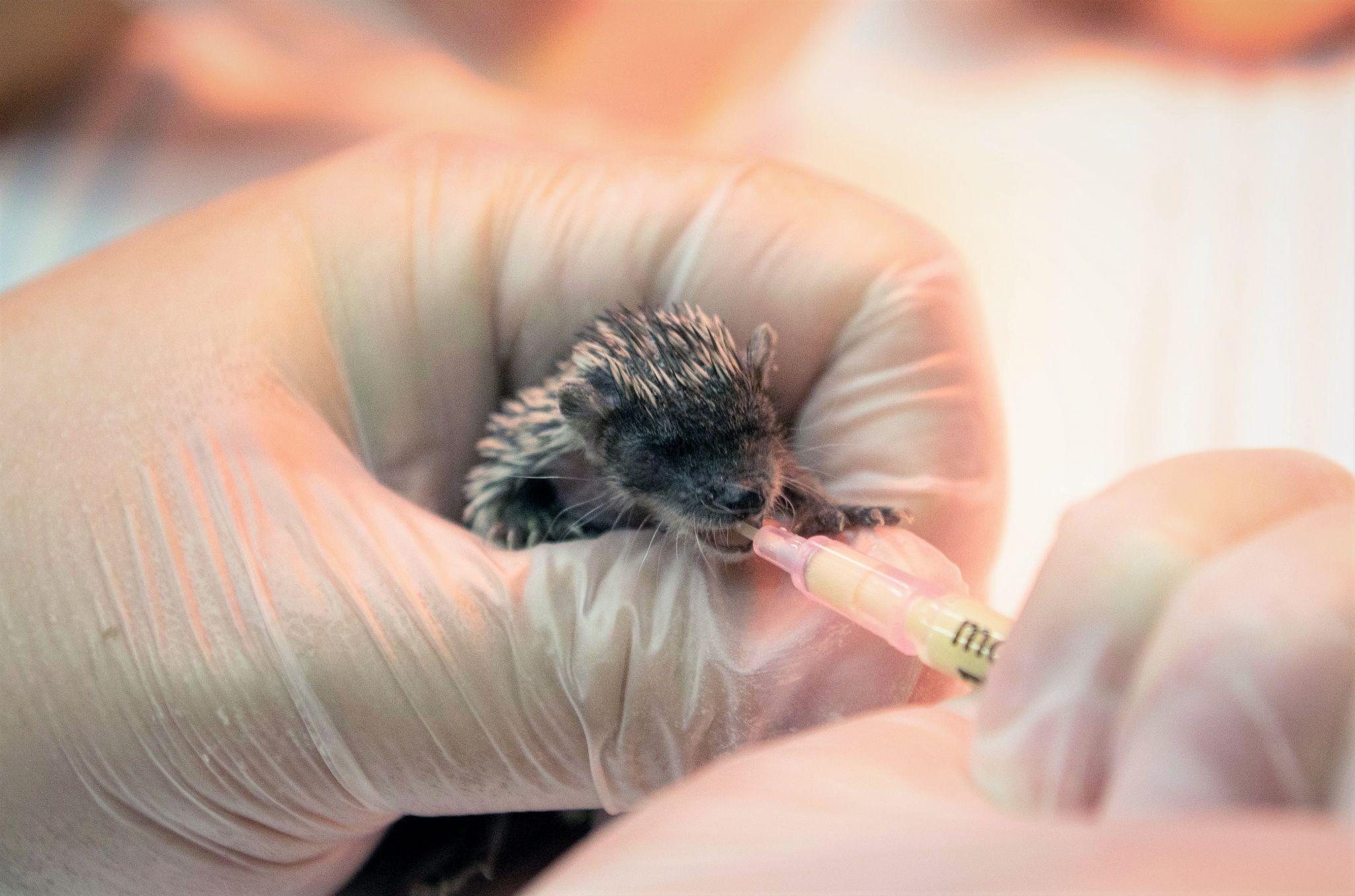 Houston Zoo welcome three baby hedgehog tenrecs