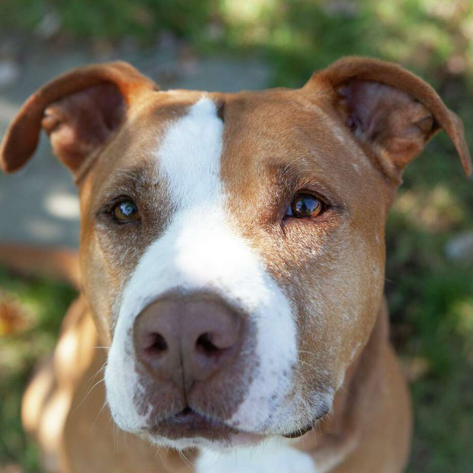 Bruce is a sweet and loyal 5-year old American Staffordshire Terrier mix looking for a forever home. Photo: Ridgefield Operation For Animal Rescue / Jordy Rabinowitz