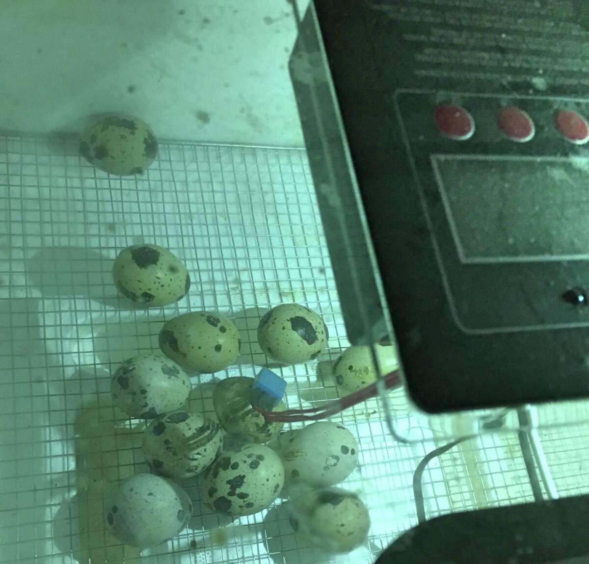 Quail eggs sit in an incubator at Fairview Farm in Wilton.