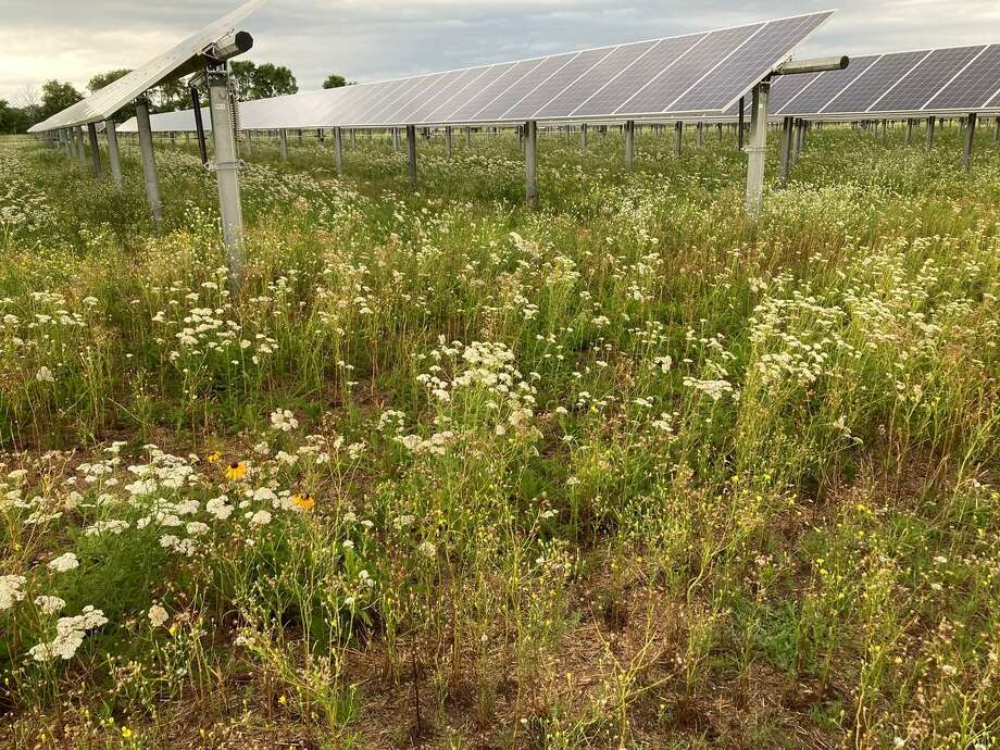 A pollinator-friendly solar field like this one is being proposed for Torrington's landfill property by US Solar. Photo: Rob Davis/Fresh Energy / Contributed Photo