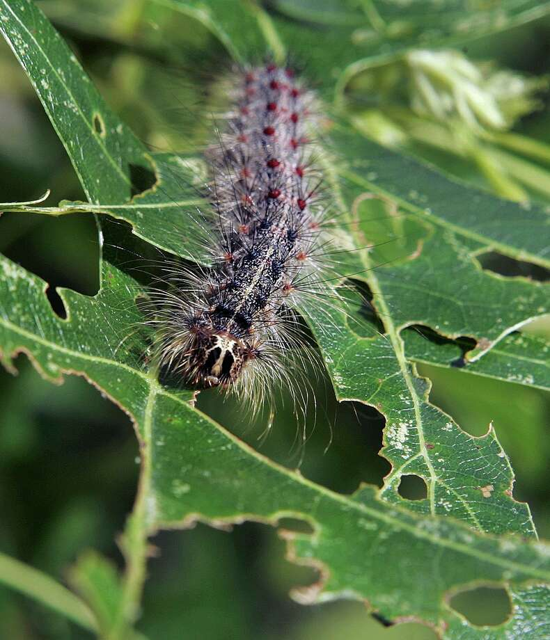 In this June 12, 2007 file photo, a gypsy moth caterpillar walks along partially eaten leaves of a tree in Trenton, N.J. The gypsy moth, discovered in 1869 in Boston, is found in 20 states as of 2016, and has reached the northern Great Lakes, according to the U.S. Department of Agriculture. The scourge of insect pests is expected to put almost two-thirds of America's forests at risk over the next decade. (AP Photo/Mel Evans, File) / AP2007