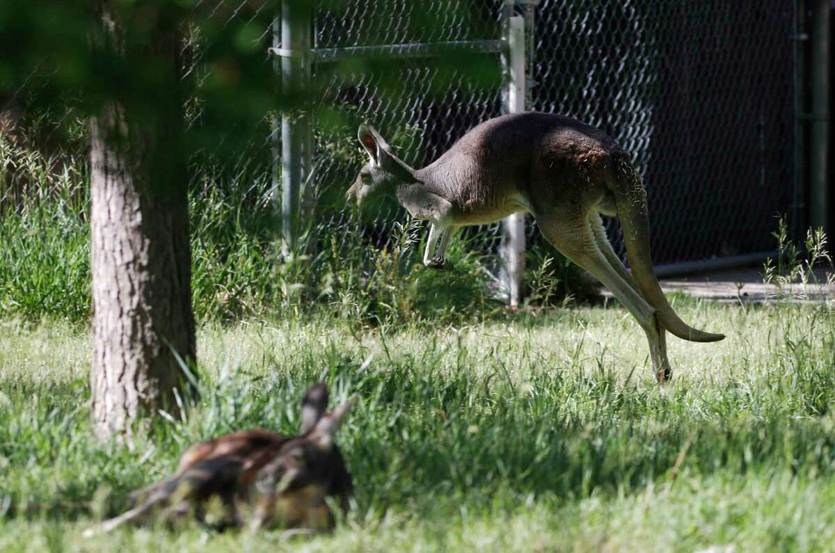 A Red Kangaroo jumps through its enclosure as the Denver Zoo reopens after a three-month closure because of the spread of the new coronavirus Friday, June 12, 2020, in Denver. Zoo officials were limiting access as well as demanding that patrons follow social distancing guidelines during their visits. (AP Photo/David Zalubowski)