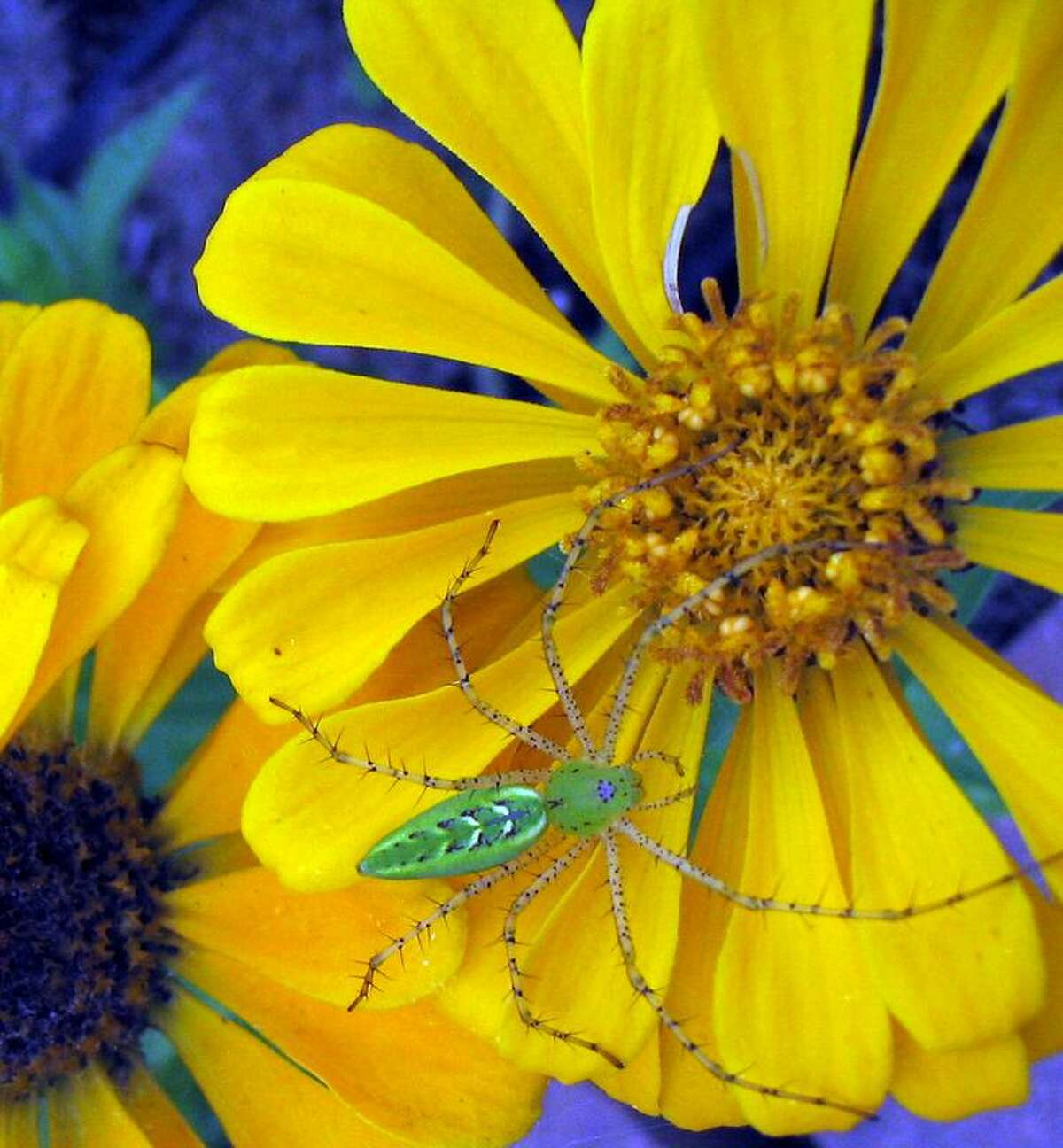 Zinnias will bloom all summer attracting butterflies and beneficial critters like this green lynx spider.
