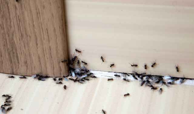 Summer Ant Sightings Could Spell Trouble-How To Stave Off an Infestation