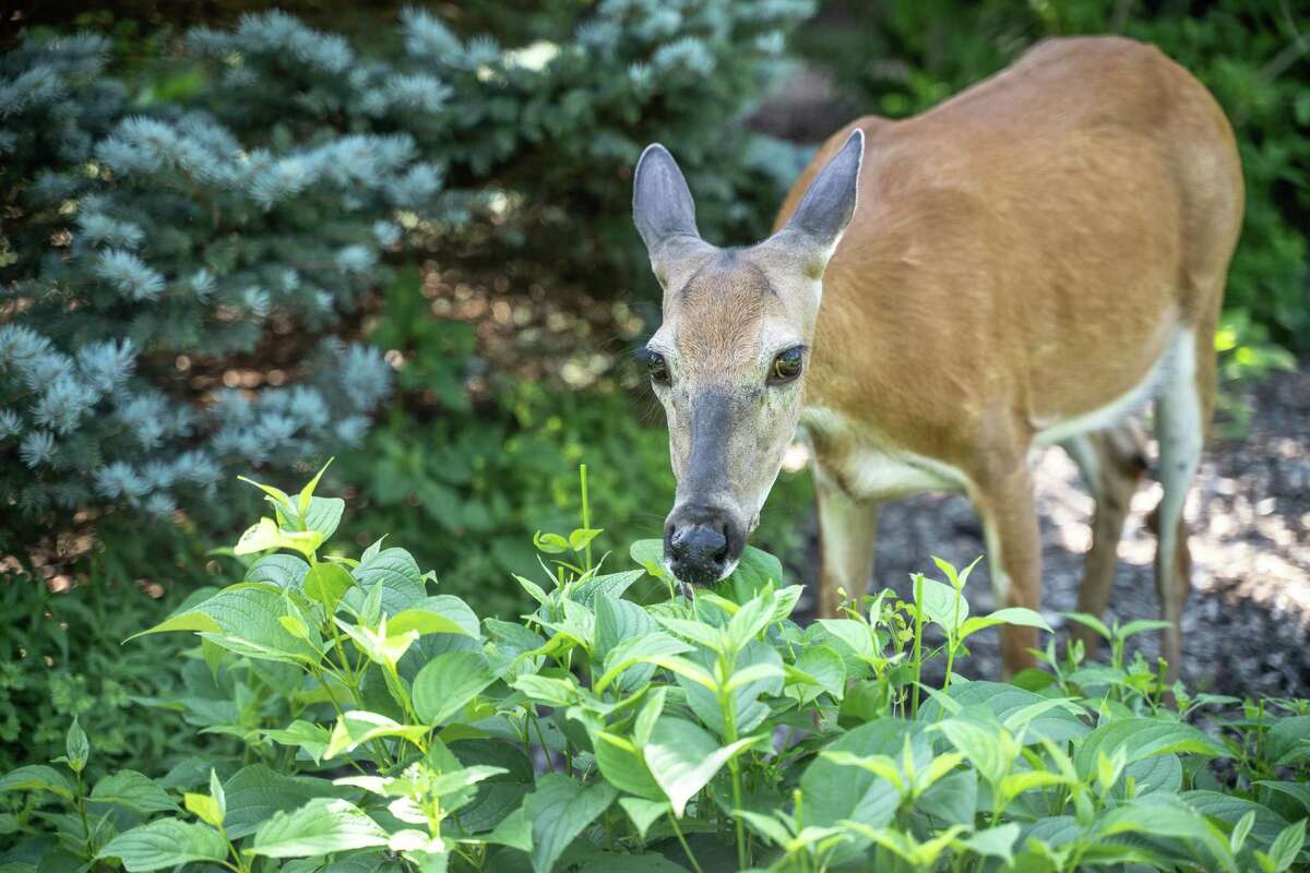 """The Texas Parks and Wildlife Department has found a positive detection of the """"zombie deer disease"""" for the first time in a South Texas county."""