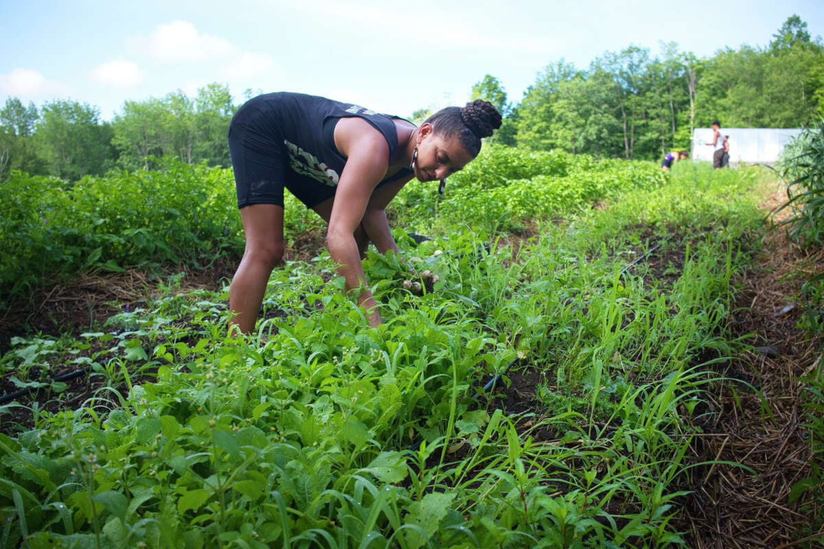 Leah Penniman, co-founder and co-director of Soul Fire Farm, picks turnips at the farm on Thursday, July 9, 2020, in Petersburgh, N.Y. (Paul Buckowski/Times Union)