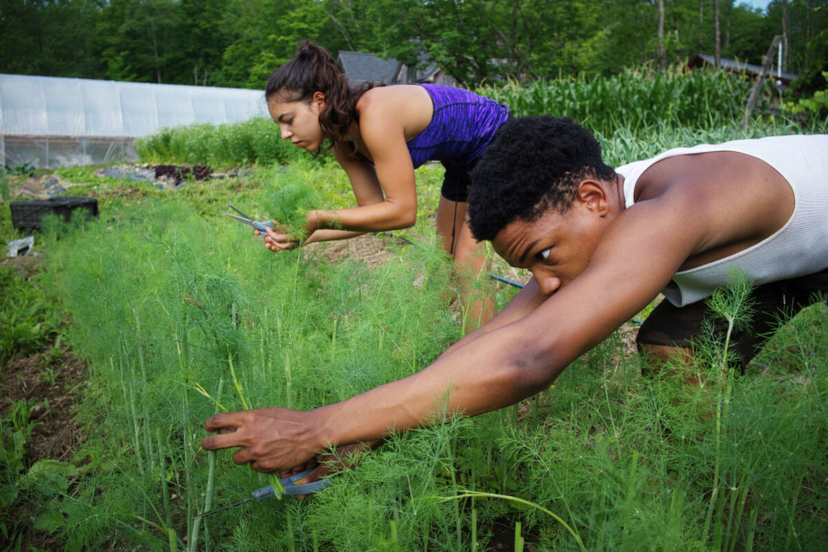 Kweku Wooten, foreground, an apprentice at Soul Fire Farm, and Neshima Vitale-Penniman, whose parents own and run the farm, cut dill on Thursday, July 9, 2020, in Petersburgh, N.Y. (Paul Buckowski/Times Union)