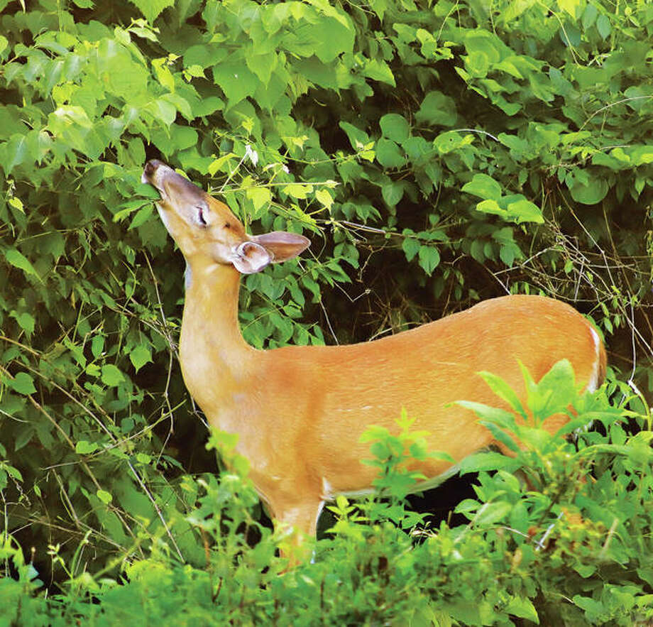 This June photo of a doe eating leaves off of plants on Rozier Street in Alton is a prime example of the posts Principia College researchers have found online for the community. Nature, architecture and things to do downtown were frequent topics for online media interaction, according to the study. Photo: John Badman|The Telegraph