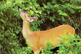 This June photo of a doe eating leaves off of plants on Rozier Street in Alton is a prime example of the posts Principia College researchers have found online for the community. Nature, architecture and things to do downtown were frequent topics for online media interaction, according to the study.