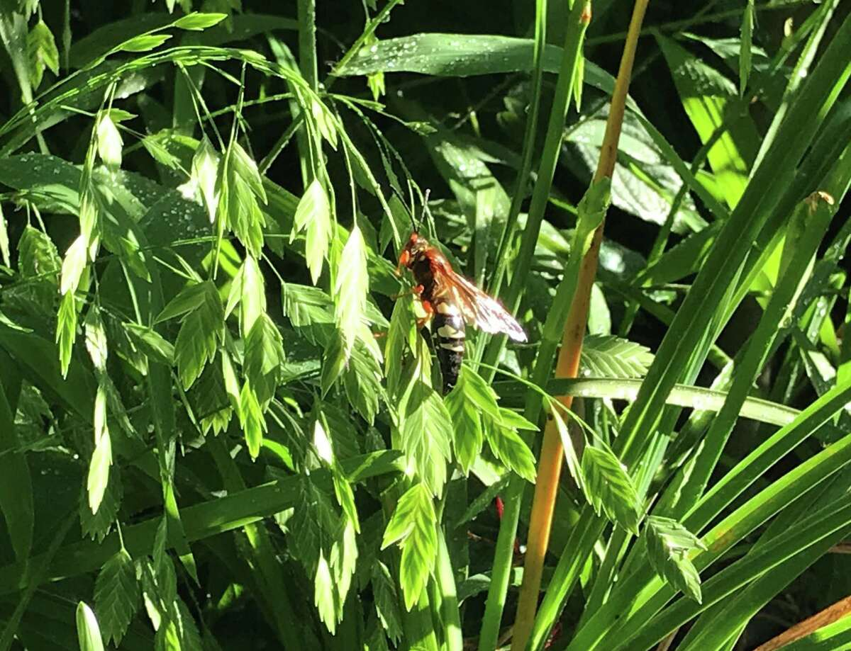 A cicada killer wasp visits a stand of inland sea oats in Molly Glentzer's garden.