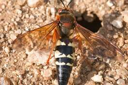 Adult cicada killer wasps emerge in summer, when cicadas are active, and drag their pray into long burrows as food for their larva. Although they measure 1.5-2 inches -- very large -- they are not a harmful, invasive species.
