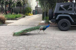 In a North Oakland neighborhood, a controversial peacock has taken up residence in someone's yard.
