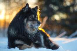 """#38. Finnish lapphunds - 2019 AKC popularity rank: #165 - Full-grown height: 18-21 inches (male), 16-19 inches (female) - Full-grown weight: 33-53 pounds - Traits: Reserved, calm, friendly, courageous These agile Nordic dogs are not outgoing around strangers, but are friendly and eager to please at home. Bred as reindeer herders, they are incredibly muscular for their size. Perhaps the only downside: they will be """"miserable when neglected"""" since they crave companionship."""