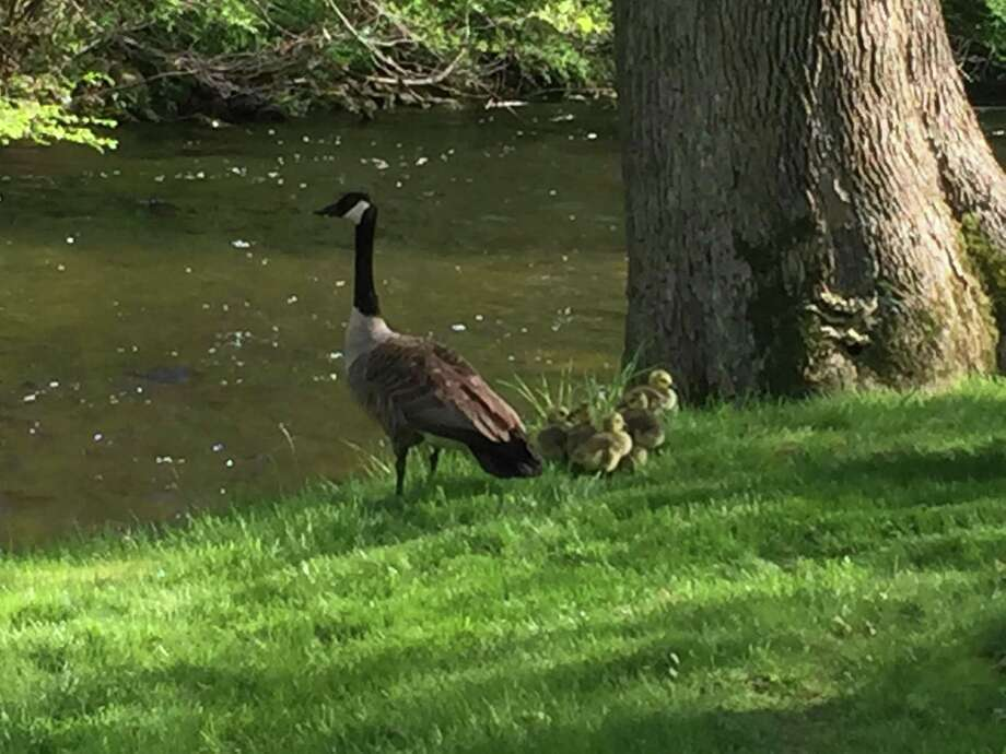A Canada Goose watches her goslings at the edge of the Norwalk River next to Cannon Grange Hall. Photo: Patricia Gay/Hearst Connecticut / Wilton Bulletin Contributed