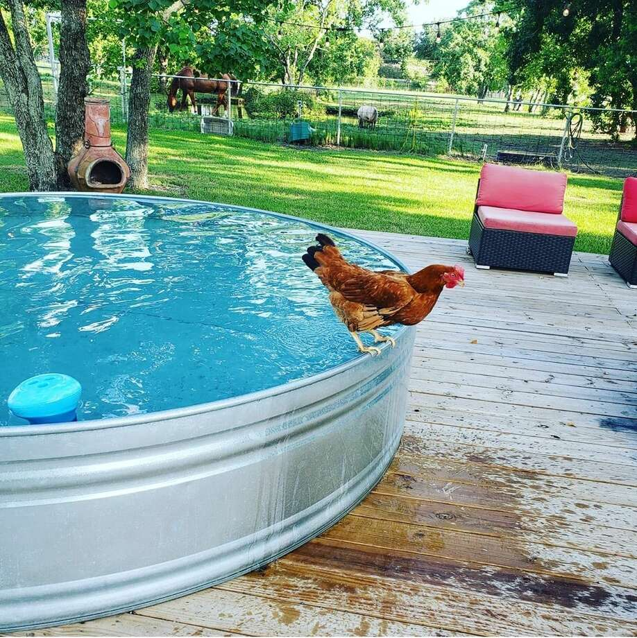 """""""Chickens can swim,"""" said stock tank pool (and chicken) owner Danielle Choates. Choates and her family have been enjoying the comforts and normalcy provided by their stock tank pool since the pandemic forced friends and families to socially distance away from each other this summer. Photo submitted by Danielle Choates. Photo: Danielle Choates"""