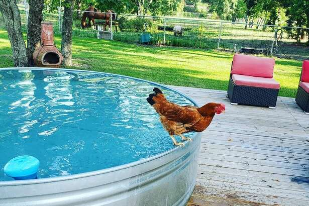 """Chickens can swim,"" said stock tank pool (and chicken) owner Danielle Choates. Choates and her family have been enjoying the comforts and normalcy provided by their stock tank pool since the pandemic forced friends and families to socially distance away from each other this summer. Photo submitted by Danielle Choates."