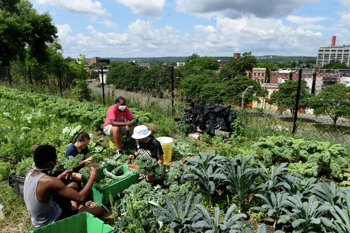 Jordon Godfrey, left, Sydney Kurzejeski, Jestina Bryan and Margaret Adams, right, harvest kale at the Capital Roots 8th Street garden on Tuesday, July 14, 2020, in Troy, N.Y. The Troy High School students are taking part in Capital Roots' Produce Project, where Troy high students farm and sell produce in a year-round learning program. Each student earns school credit, a stipend and a share of the farm?•s bounty to share with their families. (Will Waldron/Times Union)