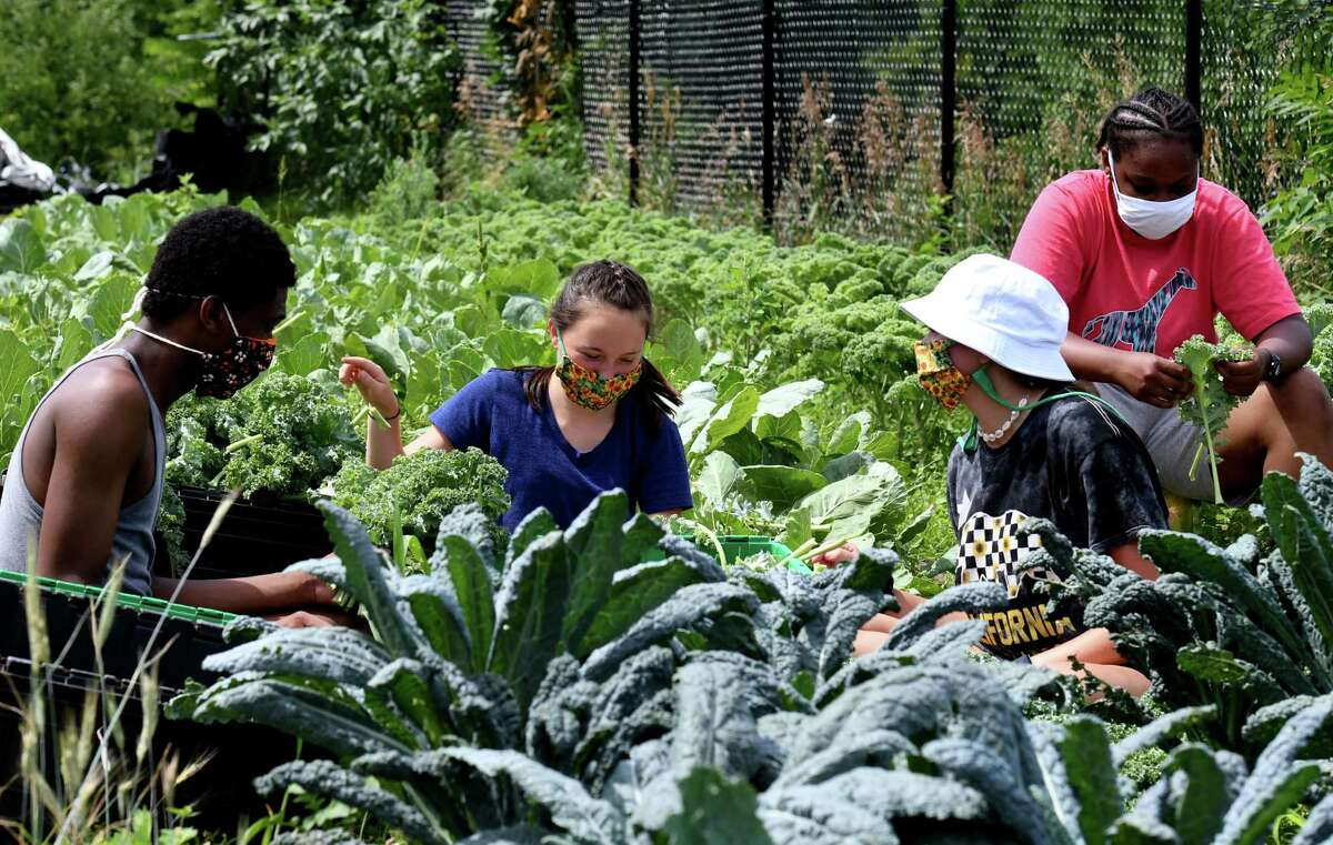 Jordon Godfrey, left, Sydney Kurzejeski, Margaret Adams and Jestina Bryan, right, harvest kale at the Capital Roots 8th Street garden on Tuesday, July 14, 2020, in Troy, N.Y. Capital Roots is among 31 organizations to receive a United Way of the Greater Capital Region community investment grant for 2020. (Will Waldron/Times Union)