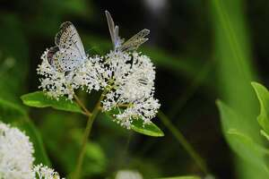 Two Karner blue butterflies sit on a New Jersey tea shrub in the Albany Pine Bush Preserve on Tuesday, July 14, 2020, in Albany, N.Y. The Pine Bush Preserve is experiencing a population explosion of the Karner blue butterfly this year.    (Paul Buckowski/Times Union)