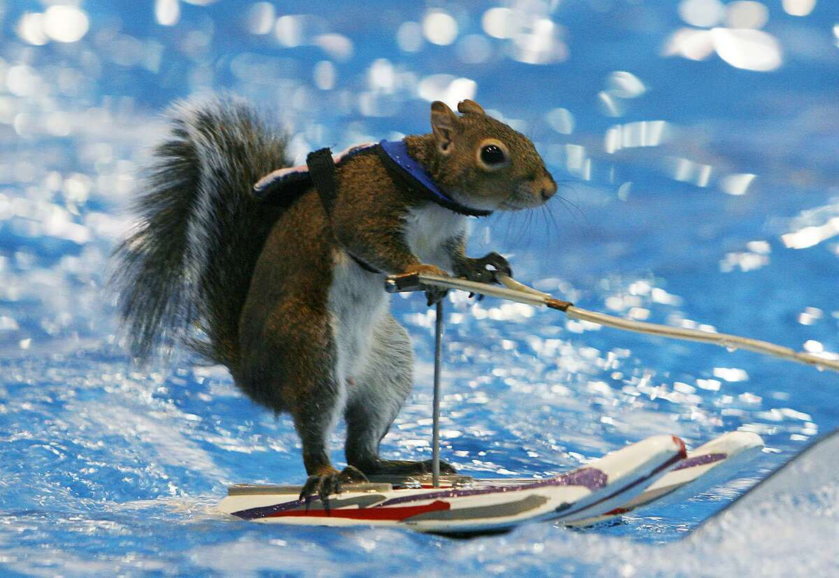 Twiggy, the water-skiing squirrel, performs during a demonstration at the Tulsa Boat, Sport and Travel Show in Tulsa, Okla., Wednesday, Jan. 31, 2007. The first Twiggy debuted in 1979.