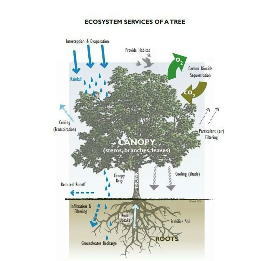 Every tree is an amazing system that works 24/7, effectively and efficiently moving nutrients and water throughout its structure to fuel itself while improving our air quality by releasing oxygen through its canopy and filtering rainwater and snow melt through its roots. (Submitted graphic)