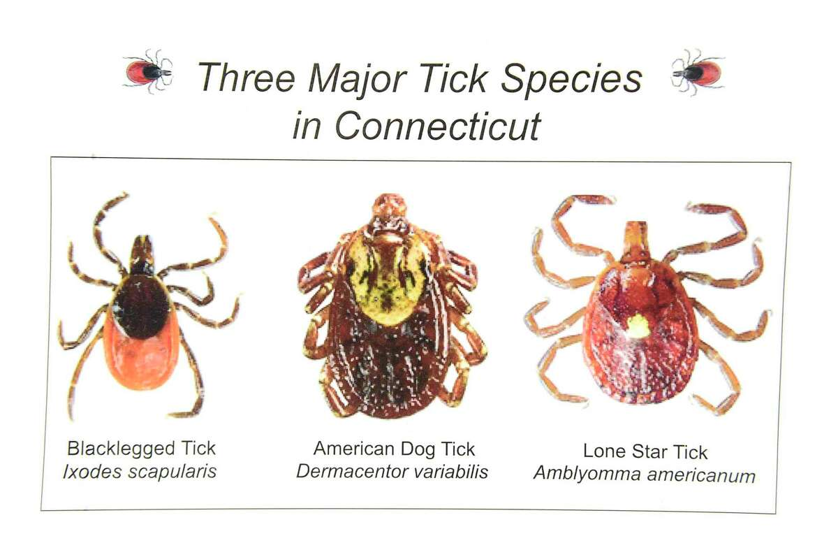 A Connecticut Agricultural Experiment Station graphic of the three major tick species in Connecticut, left to right, the Blacklegged Tick, also known as a deer tick, the American Dog Tick, and the Lone Star Tick.
