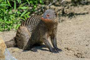 A banded mongoose sits in the sand. Mongooses often choose social bonds over social distancing.