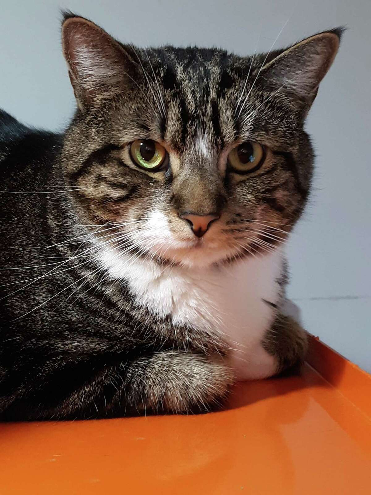 Bo the Tabby is looking for a forever home.
