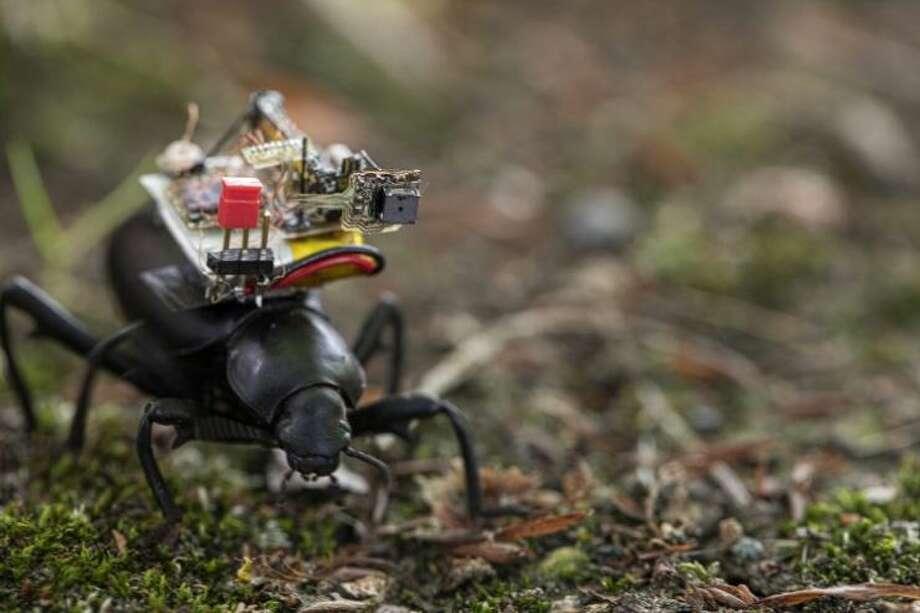 University of Washington researchers create a 'GoPro' for beetles Photo: Mark Stone/University Of Washington