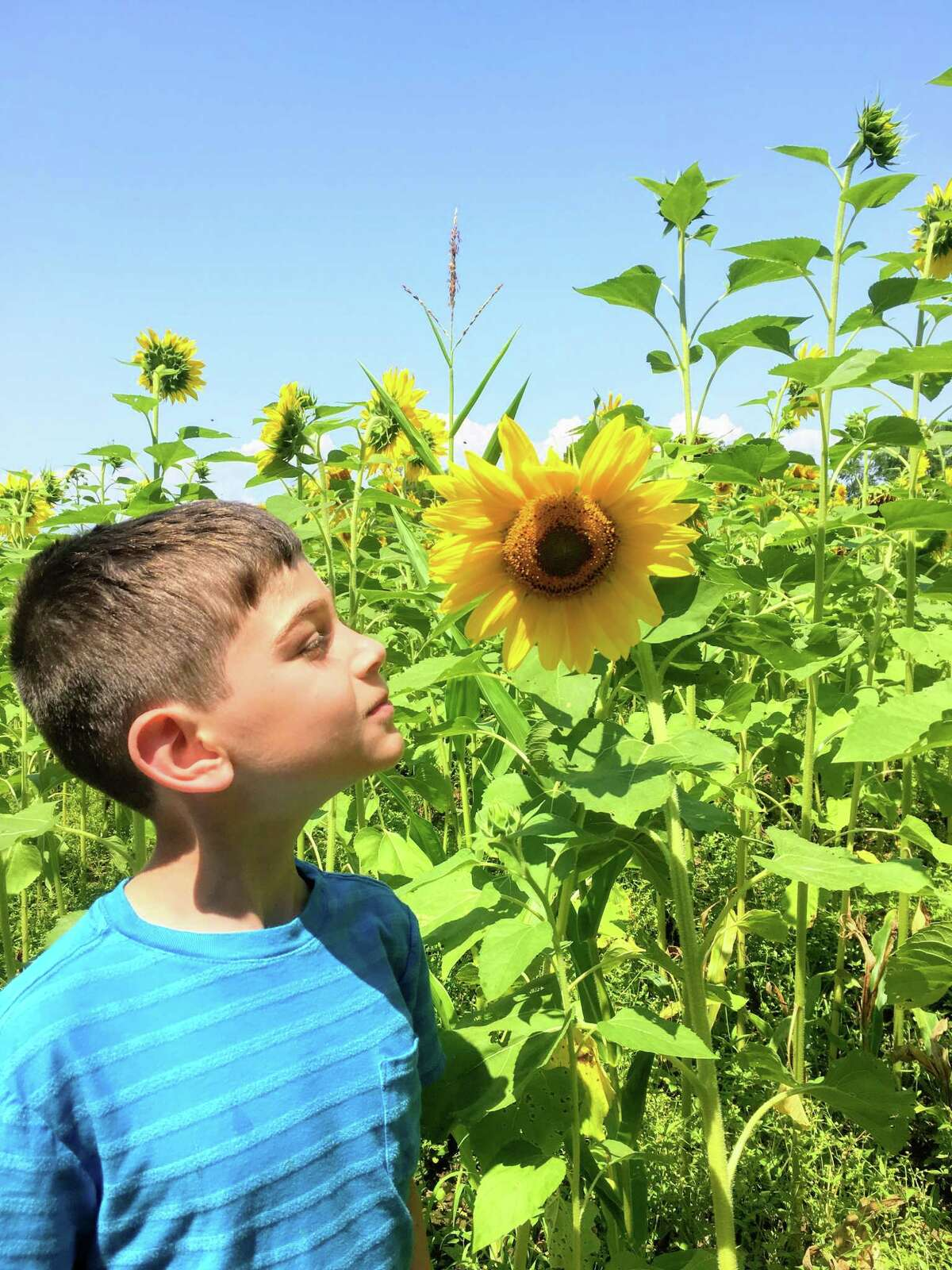Eli Weiner of Wethersfield admires a bloom at Buttonwood Farms in Griswold in 2019. Helianthus is the proper name of this category of large flowers with the daisy-like face. Fun fact: Except for a few species in South America, all Helianthus species are native to North America and Central America (but also popular in Germany).