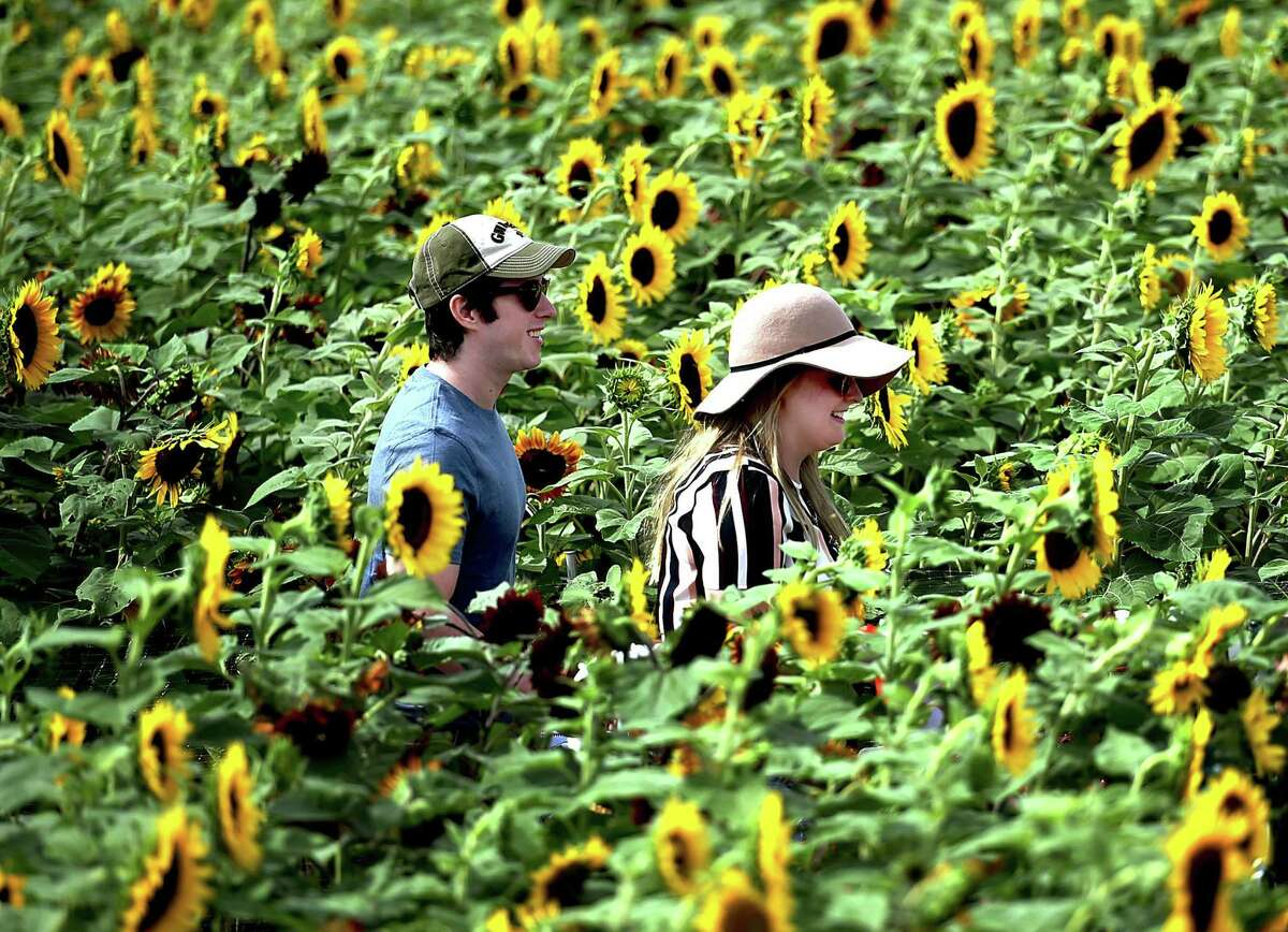 Catherine Blair and Brett Aiello, both of Wallingford, are happy to see they reached the end of the Train Sunflower Maze at Lyman Orchards, in August 2016, in Middlefield. And there's a charity connection in coming weeks. Each year Buttonwood plants more than 14 acres of sunflowers and harvests about 300,000 blooms for visitors' viewing pleasure and (for about $10 a bunch) to benefit the Make-A-Wish Foundation of Connecticut, the nonprofit organization dedicated to granting wishes to children with critical illnesses.