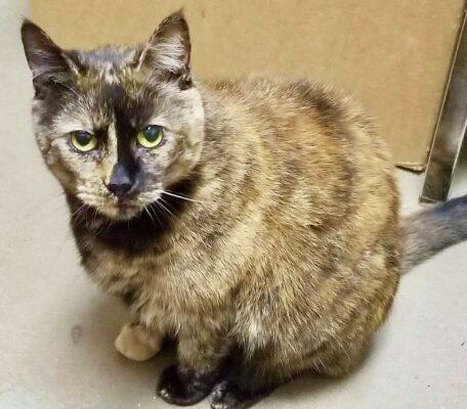 This gorgeous Tortie named Beauty, 7,was found in a feral colony about 7 years ago. The person who found her has other cats who were aggressive towards her, so she is living at the person's business. While she is cared for, she is missing that important, constant companionship she deserves and craves. Beauty loves people, loves to be by your side and can't resist a balled-up piece of paper or a string. She needs to be the only pet in the home. She is spayed and up to date with vaccinations. The best home for Beauty is with a person or family who will spend time and play with her. She's a little older, but still has lots of love to give. Contact Todd at 860-573-0775 or paint.spot@sbcglobal.net to adopt her. Photo: Contributed Photo
