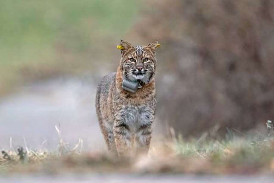 The DEEP is asking residents to consider joining their observation of bobcats, particularly those with tracking collars. This photo does not depict the bobcat spotted in Brookfield on July 15, 2020. Photo: DEEP / Contributed Photo /