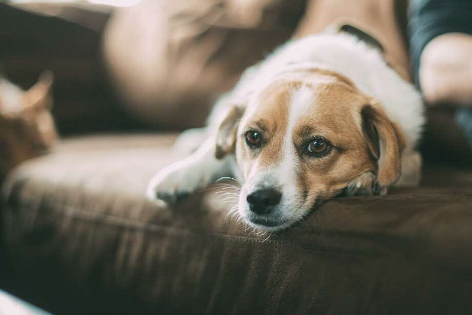 Pets suffering through PTSD need special attention. Photo: Texas A&M University