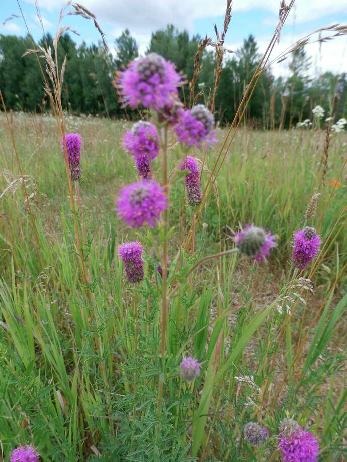 Prairie clover. (Photo provided/McLean Nature Preserve)