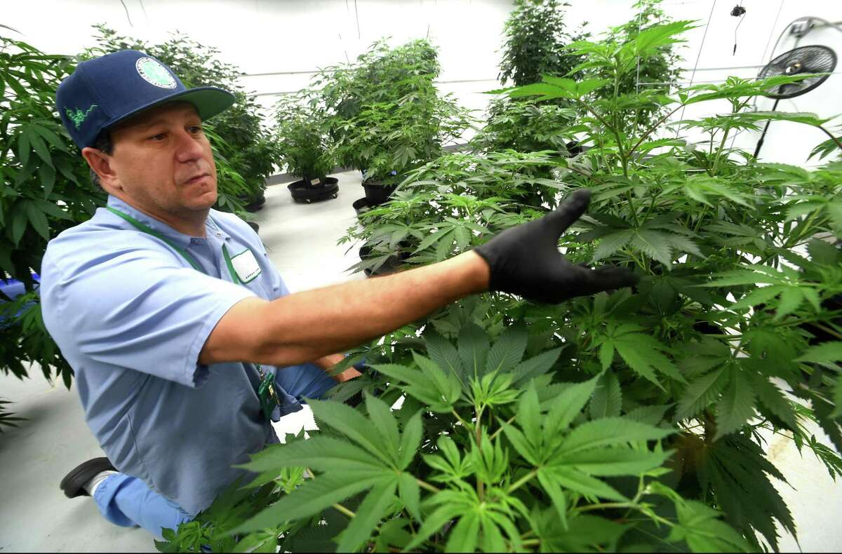 David Lipton, managing partner of Advanced Grow Labs, a medical marijuana production facility in West Haven, inspects one of the best marijuana