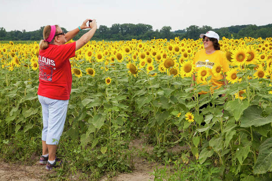 Kathy Zust, left, photographs her friend, Kris Scwend, right, in the the sunflower field at the Columbia Bottom Conservation Area in north St. Louis county near the confluence of the Missouri and Mississippi Rivers. Photo: Jeanie Stephens |The Telegraph
