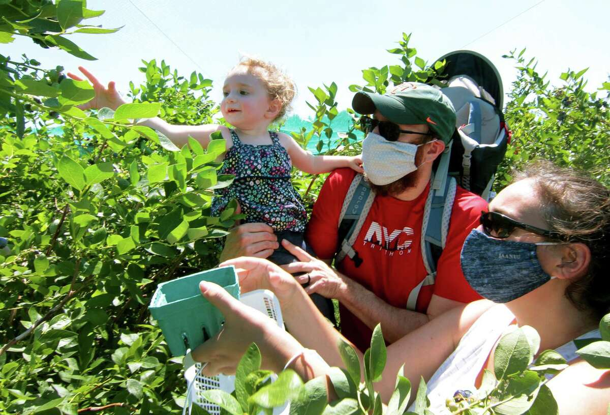 Adam Lazarus, his daughter Raeley, 2, and wife Sandi, all from Queens, pick blueberries together at Jones Family Farm in Shelton, Conn.
