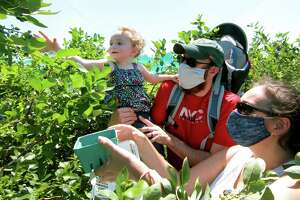 Adam Lazarus, his daughter Raeley, 2, and wife Sandi, all from Queens, pick blueberries together at Jones Family Farm in Shelton, Conn., on Saturday July 18, 2020. For daily specific updates on days and hours of operation, call the Farmer Jones Crop Line at 203-929-8425.
