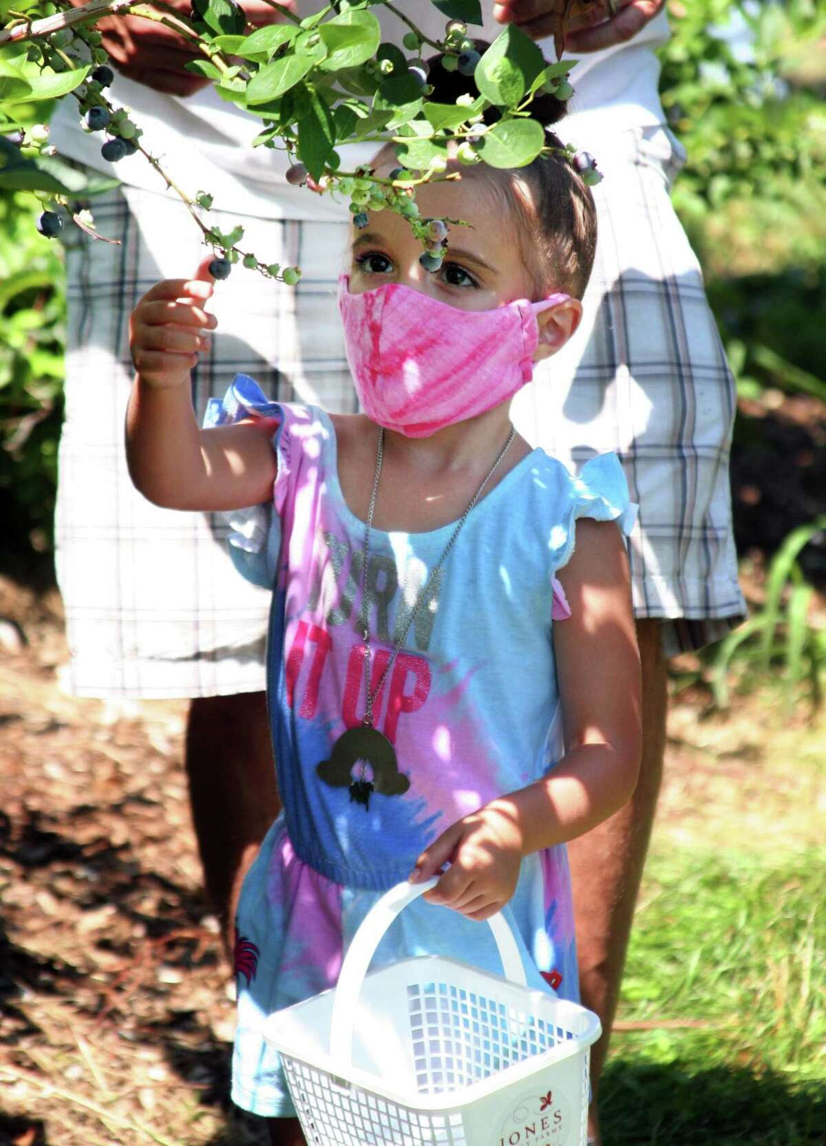 Rowan Ruggiero, 3, of Beacon Falls, picks blueberries at Jones Family Farm in Shelton, Conn., on Saturday July 18, 2020. For daily specific updates on days and hours of operation, call the Farmer Jones Crop Line at 203-929-8425.