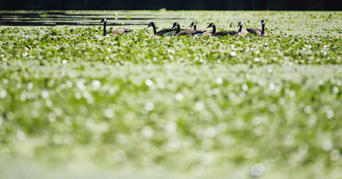 Geese search for food on the Mohawk River on Sunday, July 19, 2020, in Niskayuna, N.Y. (Paul Buckowski/Times Union)