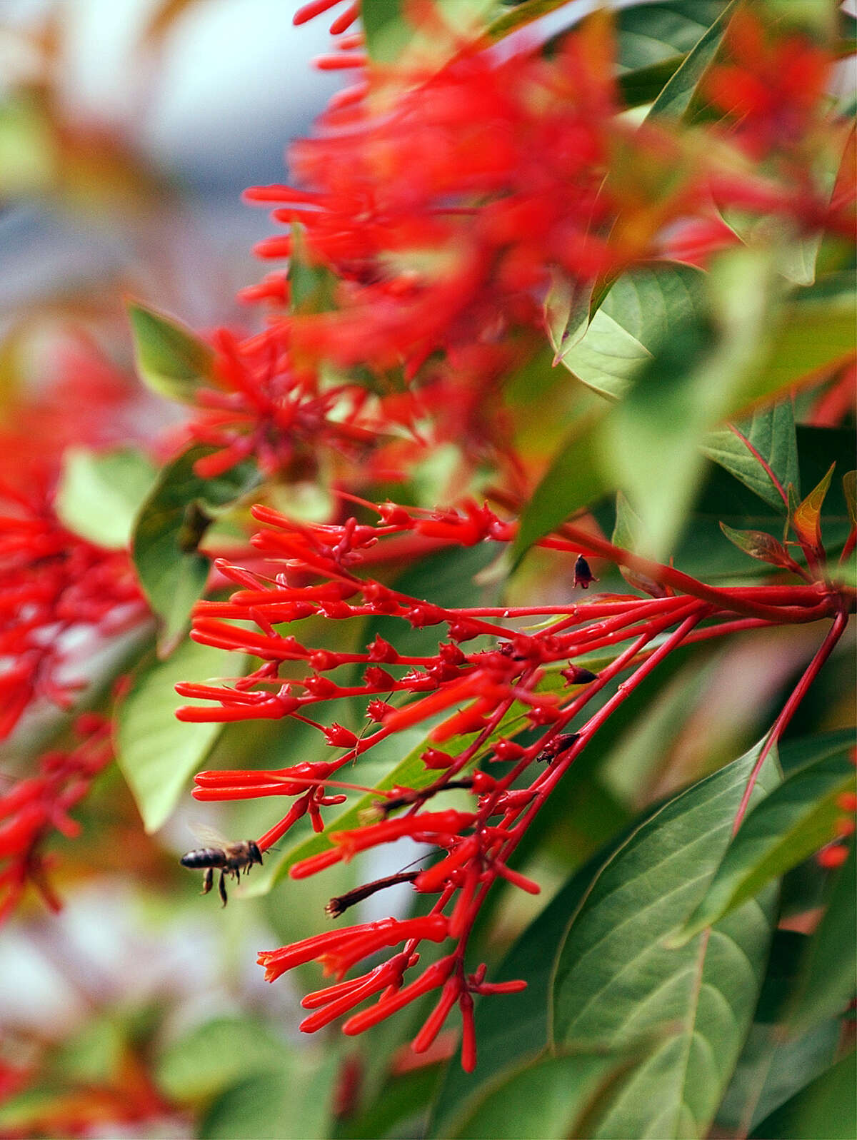 A whole panoply of floral options, such as firebrush, can survive summer's steeper temperatures.