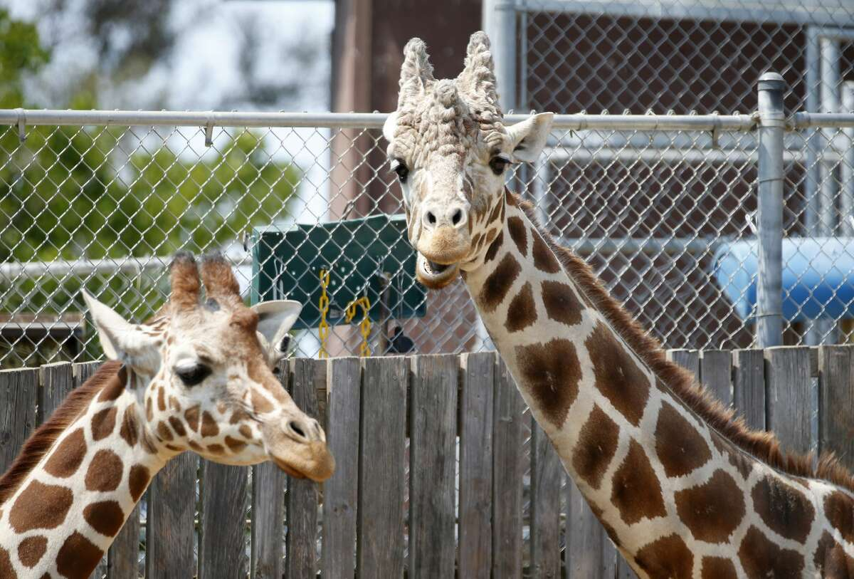 Giraffes look out from their habitat at the Oakland Zoo in Oakland, Calif., on Wednesday, July 15, 2020.