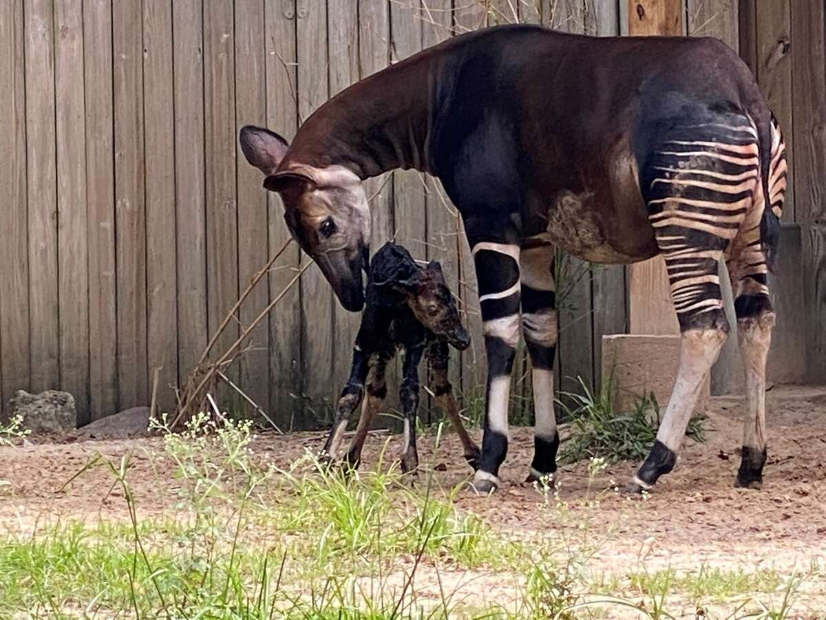 The calf and its mother Sukari, 13, will spend a few weeks behind the scenes bonding before making their public debut.